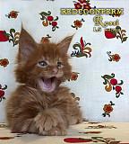 Котенок мейн кун красный. Шоу класс. Питомник Подгорица