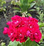 Пеларгония Ungarisk Appleblossom (розебудная) Тольятти