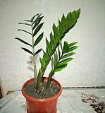Долларовое дерево-Замиокулькас Чебоксары