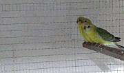 Певчие попугаи Краснодар