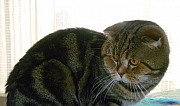 Кот на вязку Тольятти