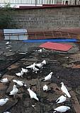 Свадебный голуби Владикавказ