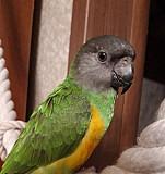 Птенец сенегалького попугая Кемерово
