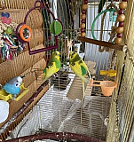 Волнистый попугай + клетки Тула