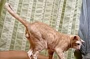 Ориентальный кот на вязку Пенза