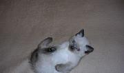 Сиамский котенок Тольятти