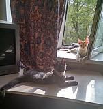Котята мейн кун Тула