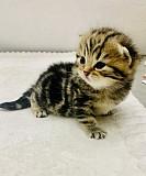 Шотландские котята Тольятти