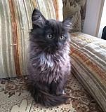Кошка Тула