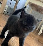 Котёнок шатландской породы Челябинск