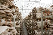 Работа по выращиванию грибов на дому Нижний Новгород