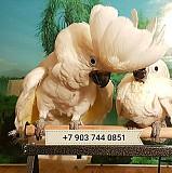 Cacatua alba - белохохлый какаду, ручные птенцы из питомников Европы Москва