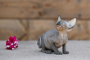 Беззащитный, маленький котёнок Эльф, бамбино, Двэльф, сфинкс. Санкт-Петербург