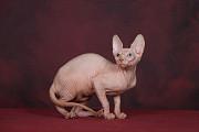 Смешной, смышлёный котёнок Эльф, бамбино, сфинкс. Москва