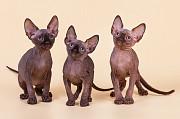 Кошка с уникальным характером-Эльф, бамбино, Двэльф, сфинкс. Екатеринбург