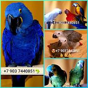 Попугаи - ручные птенцы из питомника Москва
