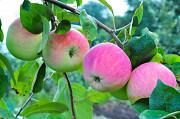Саженцы яблони по низкой цене в Москве и Подмосковье Москва