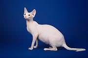 Волшебный котёнок Эльф, Бамбино, сфинкс. Geneve