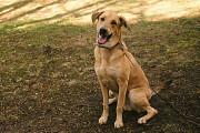 Золотой пёс, метис Русской гончей Санкт-Петербург