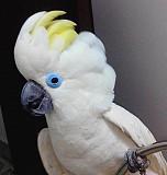 Синеочковый какаду (Cacatua ophthalmica) ручные птенцы из питомника Москва