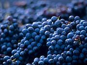 Саженцы винограда в горшках и с землей Москва