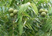 Крупномеры и саженцев деревьев грецкого ореха Москва
