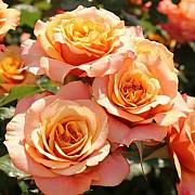 Саженцы роз в горшках с землей Москва