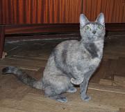 Черепахово-дымчатая кошка Мышка в добрые руки Москва