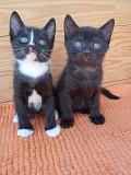 Задорные котята Нафаня и Анфиса в добрые руки Москва