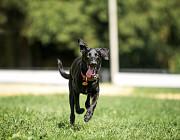 Умнейшая чисто черная красавица собака Багира Москва