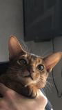 Абиссинские котята Челябинск