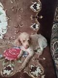 Продам собаку Ликино-Дулево