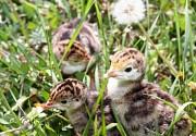 Домашняя птица Суточный молодняк разных пород Энем Краснодар